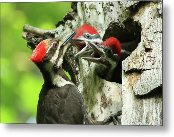 Female Pileated Woodpecker At Nest Metal Print