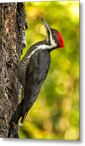 Metal Print featuring the photograph Female Pileated Woodpecker No. 2 by Belinda Greb