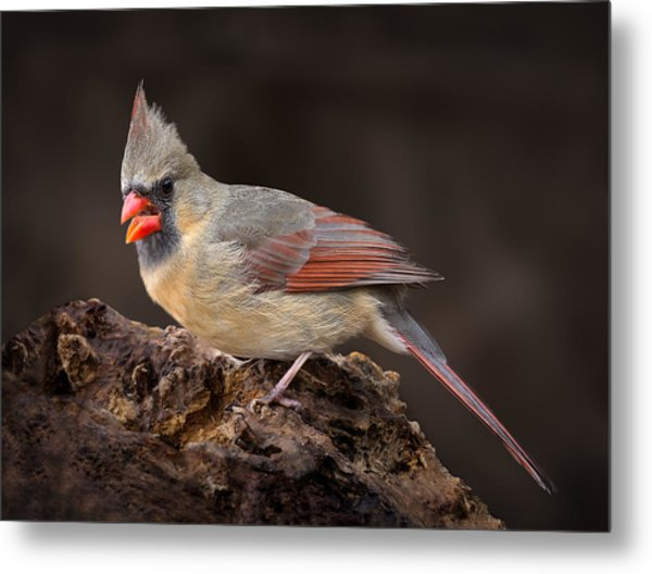 Female Red Cardinal Metal Print