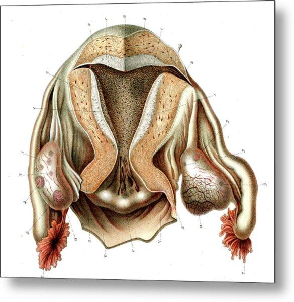 Female Reproductive System Metal Print