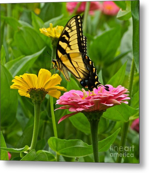Female Tiger Swallowtail Butterfly With Pink And Yellow Zinnias Metal Print