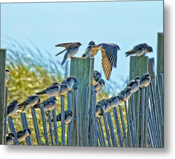 Fence Sitters Metal Print by Constantine Gregory