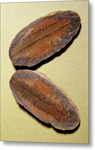 Fern Fossil (pecopteris Sp.) Metal Print by M P Land/science Photo Library