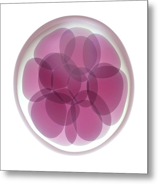 Fertilised Egg Cell Dividing Metal Print by Maurizio De Angelis