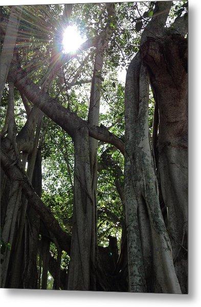 Ficus Altissima Metal Print