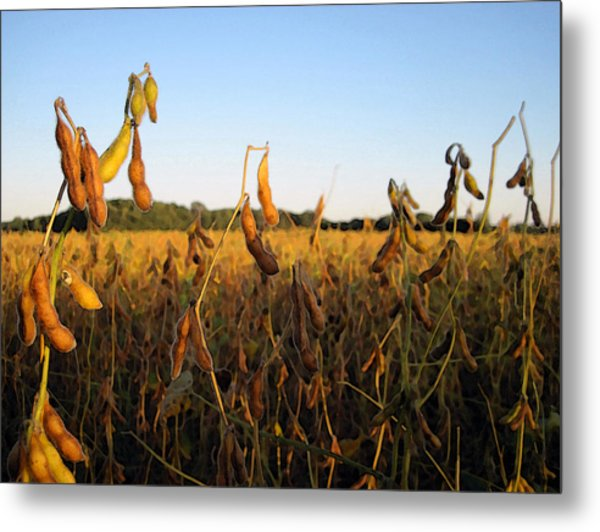 Field Of Beans Metal Print by Christopher Purcell