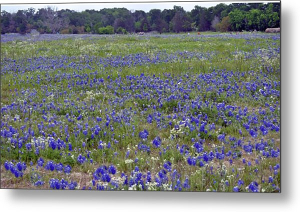 Field Of Bluebonnets Metal Print by Judith Russell-Tooth