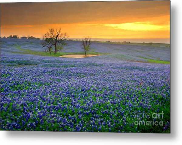 Field Of Dreams Texas Sunset - Texas Bluebonnet Wildflowers Landscape Flowers  Metal Print