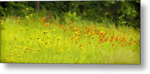 Field Of Indian Paintbrushes Metal Print