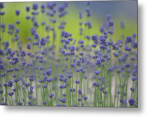 Field Of Lavender Flowers Metal Print