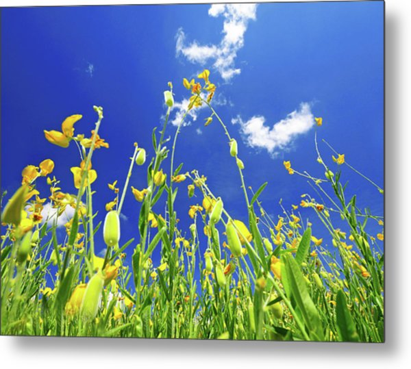 Field Of Yellow Rapeseed Against The Metal Print