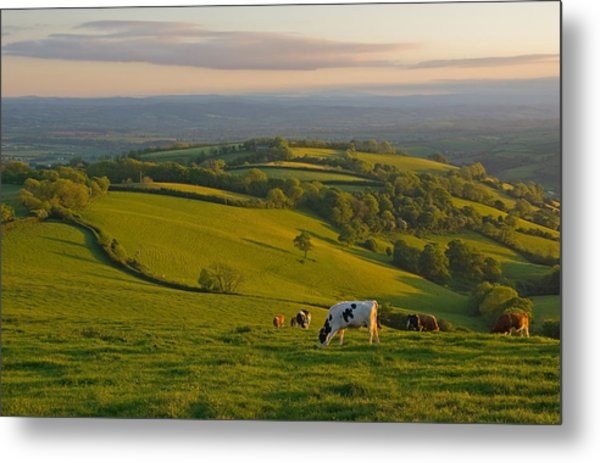 Fields And Cows In Devon Metal Print