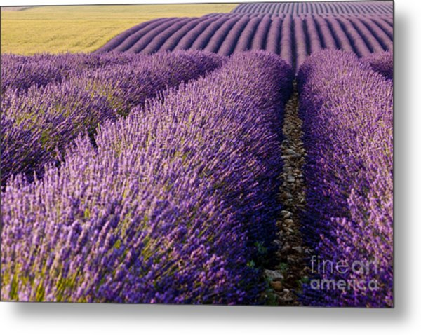 Metal Print featuring the photograph Fields Of Lavender by Brian Jannsen