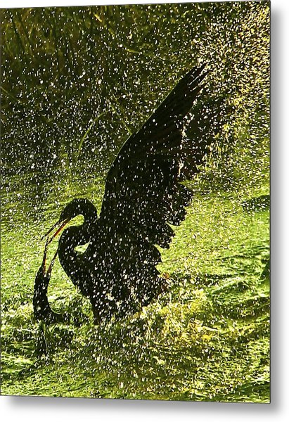 Fighting Anhingas Metal Print