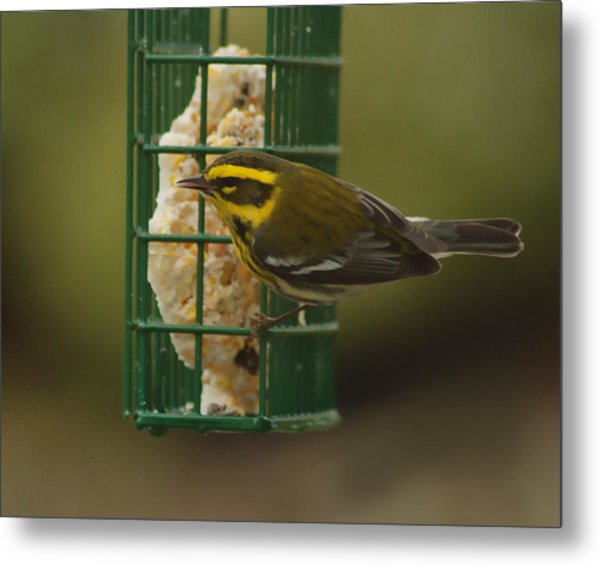 Finch On A Suet Metal Print by Ron Roberts