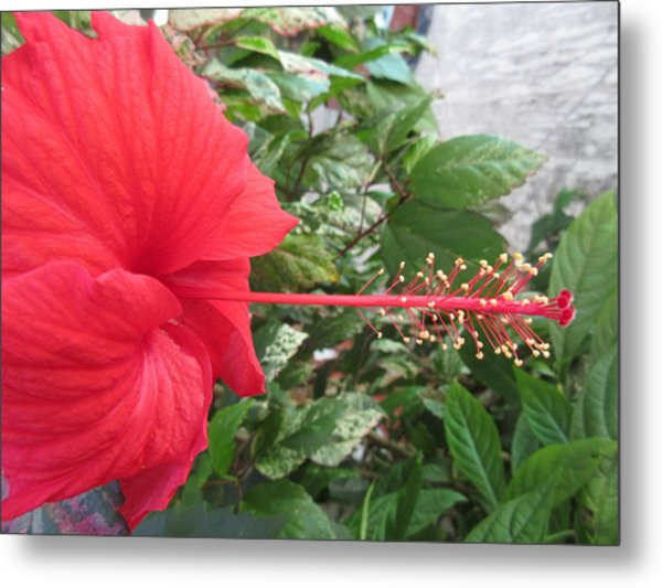 Fire And Ice Hibiscus Metal Print