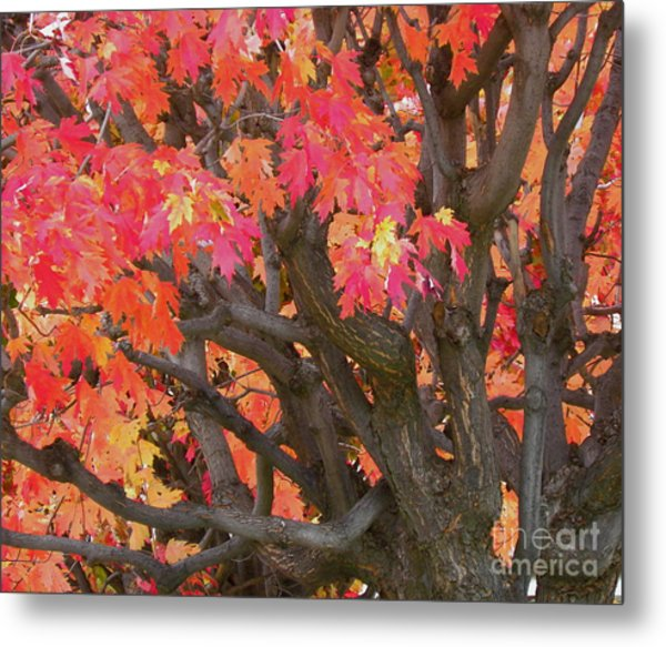 Fire Maple Metal Print by Laura Yamada