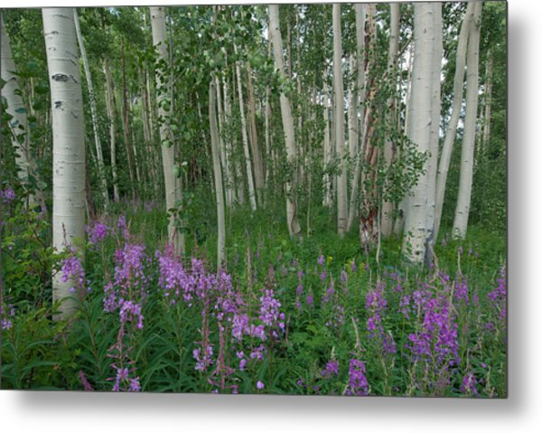 Fireweed And Aspen Metal Print