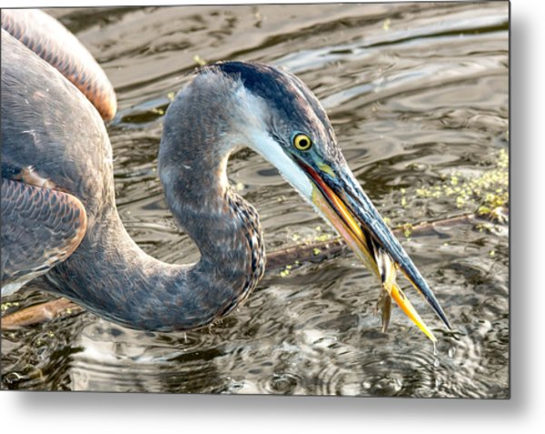 First Catch Of The Day - Blue Heron Metal Print by Doug Underwood