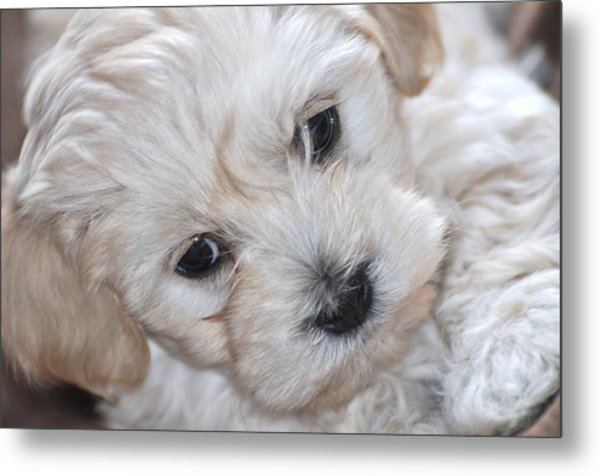 First Puppy Portrait Metal Print