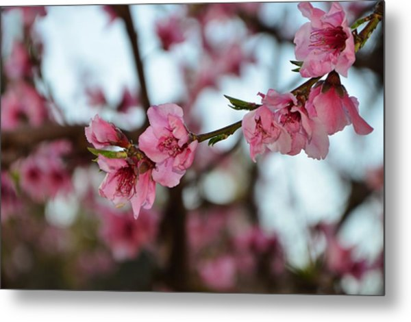 First Spring Blossoms Metal Print