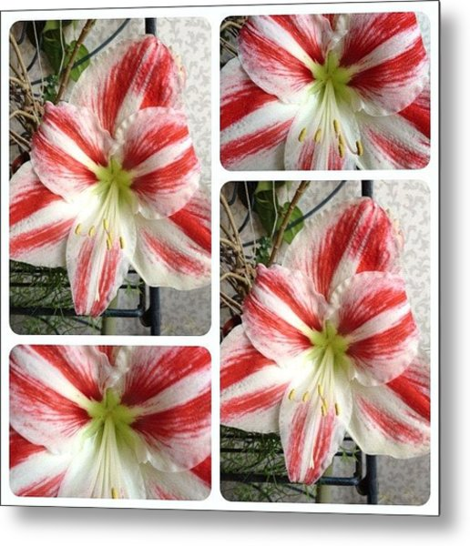 First Time Ever For My Amaryllis To Metal Print