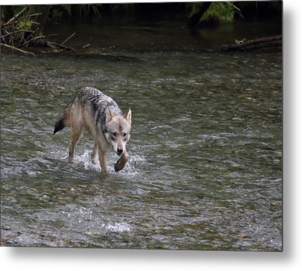 Fish Creek Wolf Metal Print