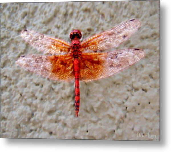 Metal Print featuring the photograph Flame Dragonfly  by Doe-Lyn