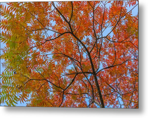 Flameleaf Sumac Mostly Changed From Green To Red Metal Print