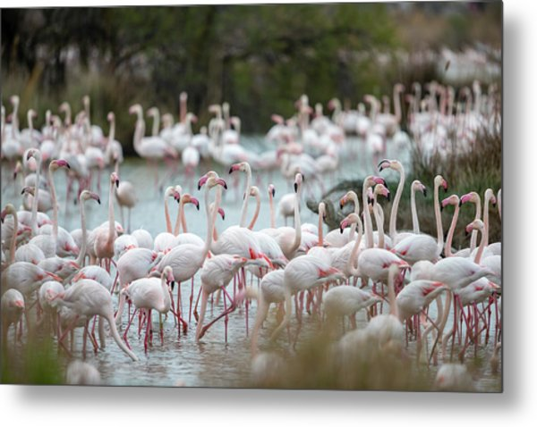 Flamingoes In Swamp Metal Print by Raffi Maghdessian