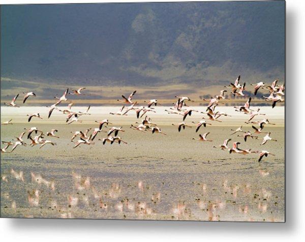 Flamingos Flying Over Water Metal Print