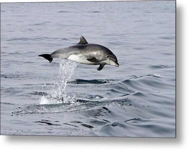 Flight Of The Dolphin Metal Print