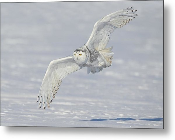 Flight Of The Snowy Metal Print
