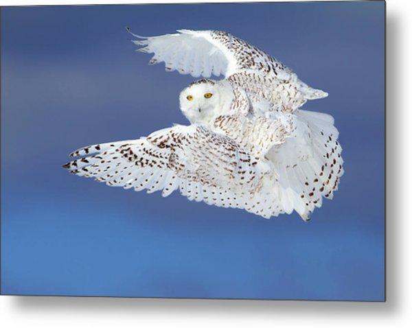 Flight Of The Snowy - Snowy Owl Metal Print