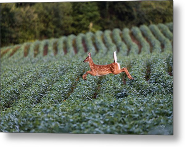 Flight Of The White-tailed Deer Metal Print
