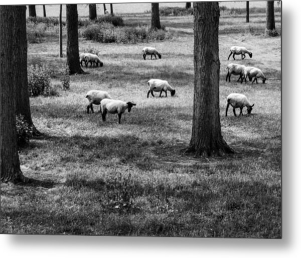 Flock Of Sheep Metal Print