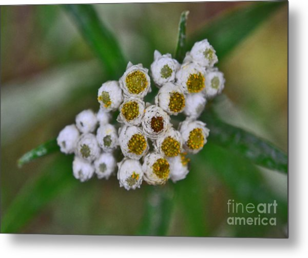 Metal Print featuring the photograph Flower Buttons by Mae Wertz