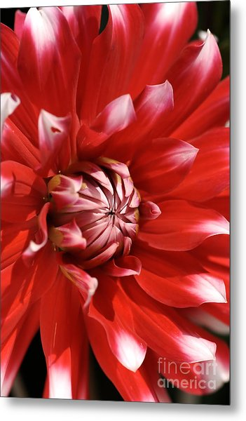 Flower- Dahlia-red-white Metal Print