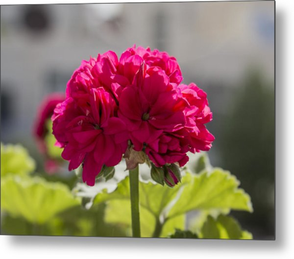 Flower2 Metal Print by Amr Miqdadi