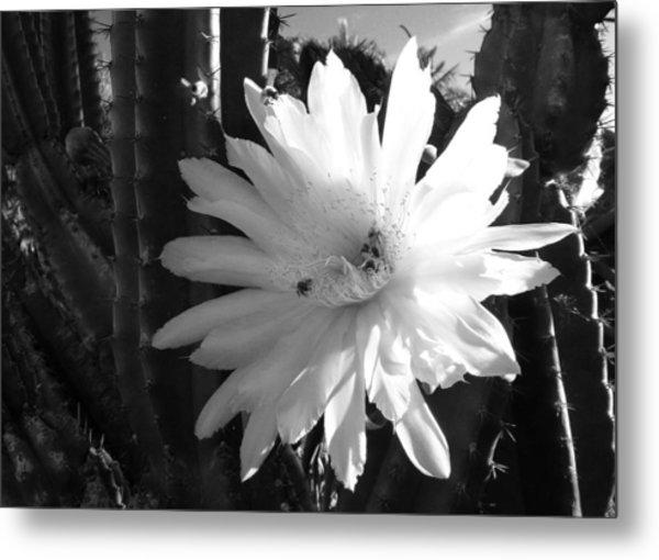 Flowering Cactus 1 Bw Metal Print