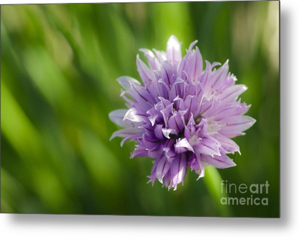 Flowering Chive Metal Print