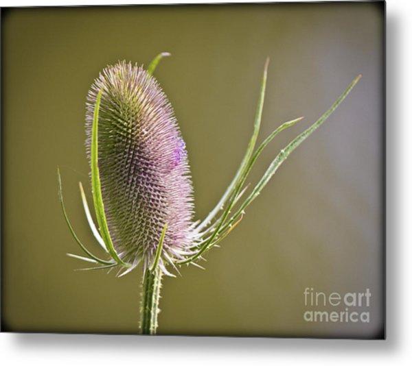 Flowering Teasel. Metal Print