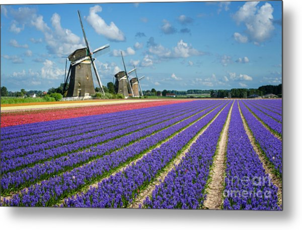 Landscape In Spring With Flowers And Windmills In Holland Metal Print
