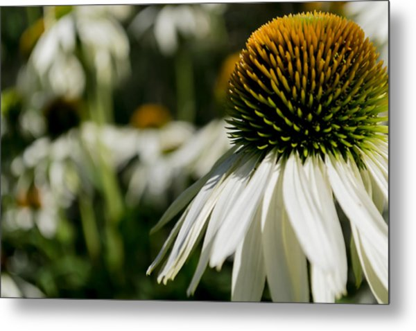 Metal Print featuring the photograph Flowers - Echinacea White Swan by Scott Lyons