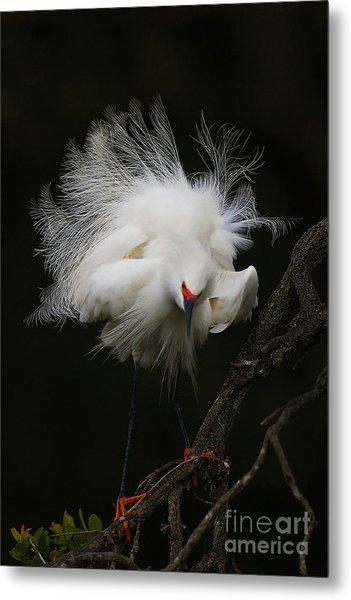 Fluffed Snowy Egret Metal Print
