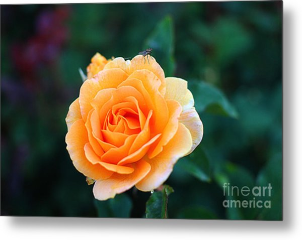 Fly On A Rose Metal Print