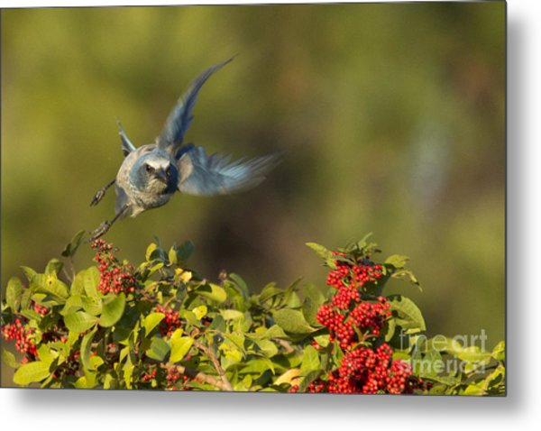 Flying Florida Scrub Jay Photo Metal Print