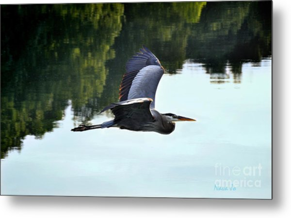 Flying Great Blue Heron Metal Print
