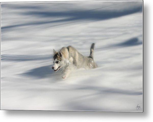 Flying In A Husky Dream Metal Print