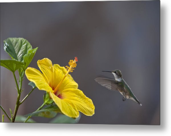 Flying In For A Quick Meal Metal Print
